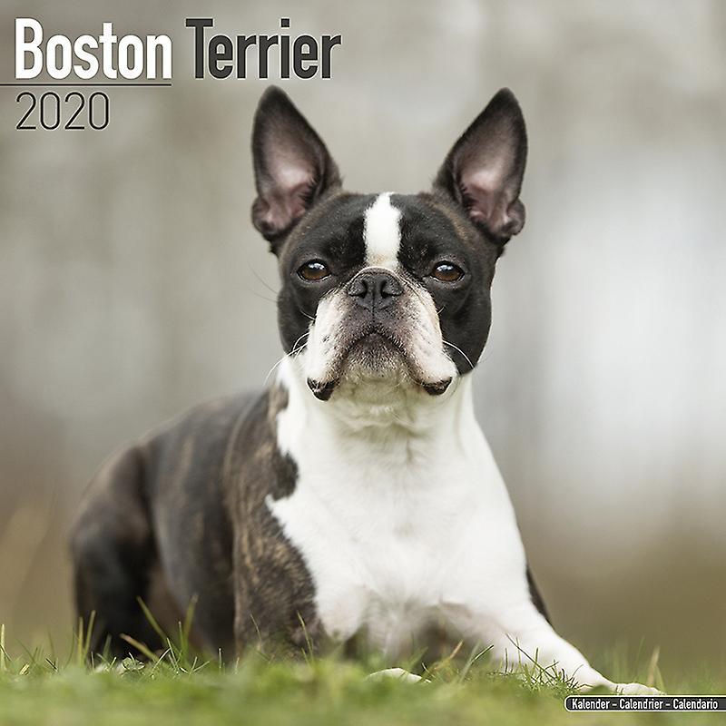 Boston Terrier Kalender 2020