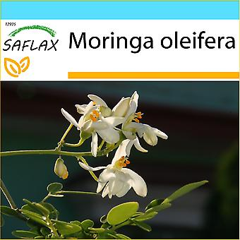 Saflax - coffret cadeau - 10 graines - raifort - Moringa - Albero del rafano - Moringa - Moringa