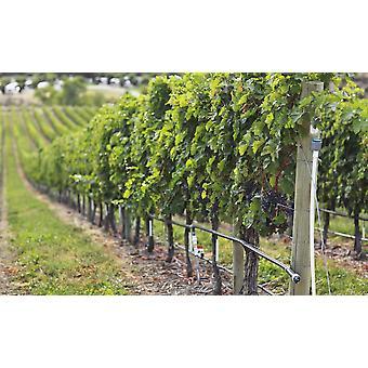 Weinreben auf einem Weingut In der Okanagan Valley Osoyoos British Columbia Kanada PosterPrint