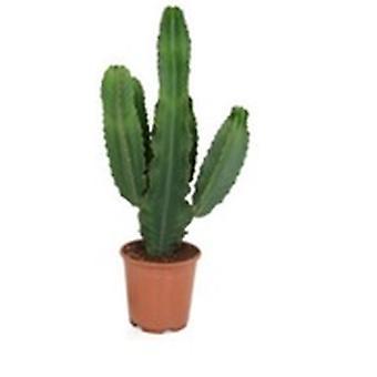 Kaktus & Succulent växt – Kandelabrarträd – Höjd: 75 cm