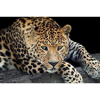 Mural de papel de parede um leopardo selvagem