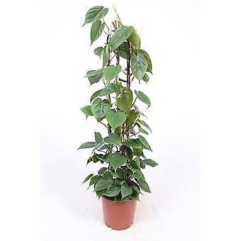 Zimmerpflanze von Botanicly – Kletter-Philodendron – Höhe: 120 cm – Philodendron scandens