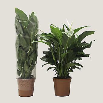 Lepelplant  ↕ 90 tot 105 cm   Spathiphyllum Sweet Lauretta