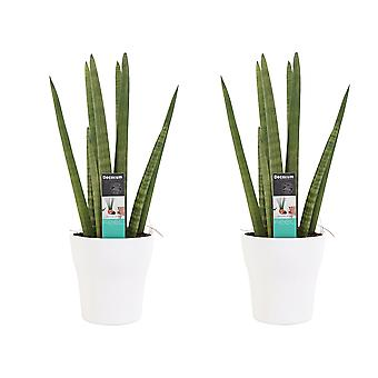 Plantas de interior – 2 × Sanseveria cilindrica en maceta blanca como un conjunto – Altura: 35 cm
