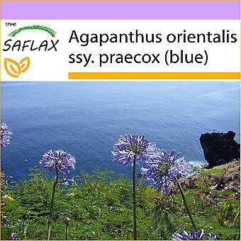 Saflax - 50 seeds - African Lily - Agapanthe - Agapanto - Flor del amor - Schmucklilie / Liebesbaum
