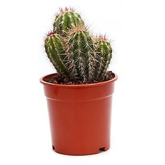 Cactus & Succulent plant from Botanicly – Tree Cactus – Height: 35 cm – Pilosocereus pringlei