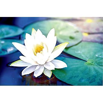 Taustakuva seinämaalaus Kaunis Valkoinen Lotus Kukka (101529769)
