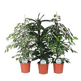 Zimmerpflanzen von Botanicly – 3 × Birkenfeige – Höhe: 105 cm – Ficus benjamina