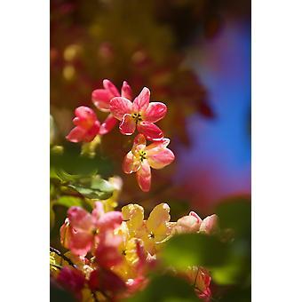 Hawaii Maui close-up di fiori di una doccia albero PosterPrint