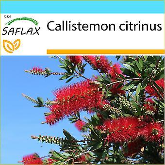 Saflax - Geschenk-Set - 400 Samen - roten Flaschenbürste - Zylinderputzer - Callistemo - Árbol del Cepillo - Australischer Lampenputzer