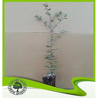 Quercus suber (kurkeiken)-plant