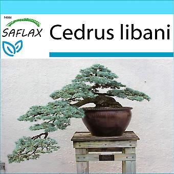 Saflax - Gift Set - 20 graines - Bonsai - cèdre du Liban - Cèdre du Liban - Cedro libanais - Cedro del Líbano - B - Libanon Zeder