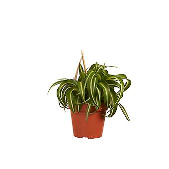 Indoor Plant from Botanicly – Grass lily – Height: 20 cm – Chlorophytum comosum Bonnie