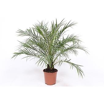 Zimmerpflanze von Botanicly – Zwerg-Dattelpalme – Höhe: 110 cm – Phoenix robellini