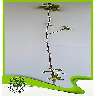 Betula alba (Europese witte berk)-plant