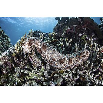 ナマコのアロール インドネシアこの人里離れた地域は、美しいサンゴ礁の壮大な海洋生物多様性ポスター印刷知られているリーフにしがみつく