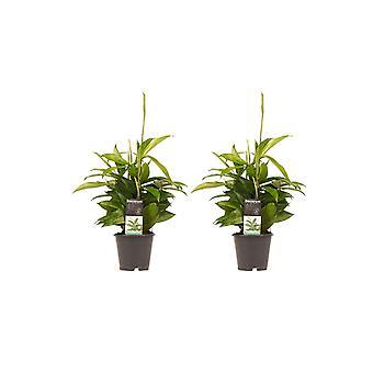 Piante da interno da Botanicly – 2 × Albero del drago – Altezza: 45 cm – Dracaena surculosa