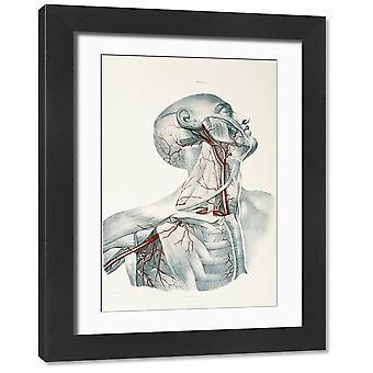 Hals arterier. Stort innrammet bilde. Hals arterier. Historisk illustrasjon av de.