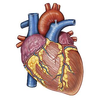 Gross anatomy of the human heart Poster Print