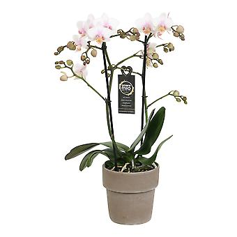 Choice of Green - Phalaenopsis Amore Mio Amaglad in Soft in terracotta pot - Butterfly Orchid