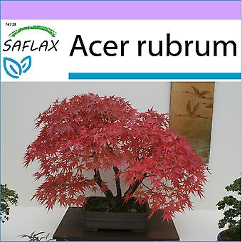 Saflax - 20 seeds - Bonsai - Red Maple - Erable rouge - Acero rosso  - Arce rojo - B - Rotahorn