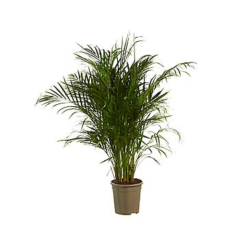 Gold palm ↕ 120 cm available with planter | Dypsis lutescens