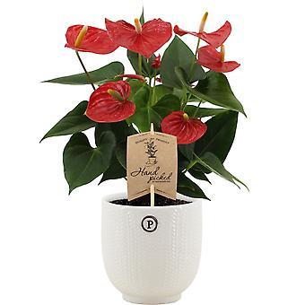 Kamerplant – Flamingoplant in witte keramische pot als set – Hoogte: 36 cm