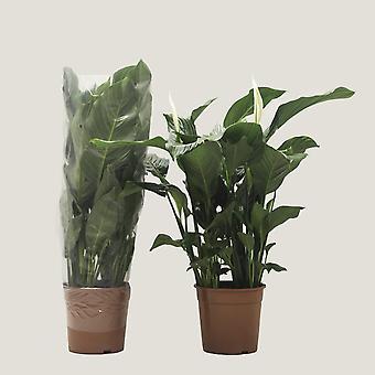 Zimmerpflanze von Botanicly – Einblatt – Höhe: 101 cm – Spathiphyllum Sweet Silvana