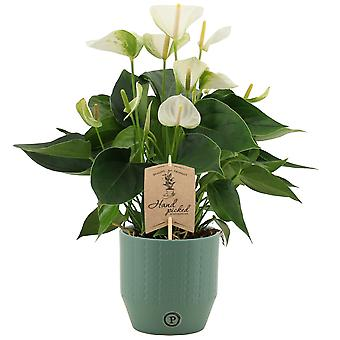 Bloem – Flamingoplant in groen keramiek pot als set – Hoogte: 36 cm