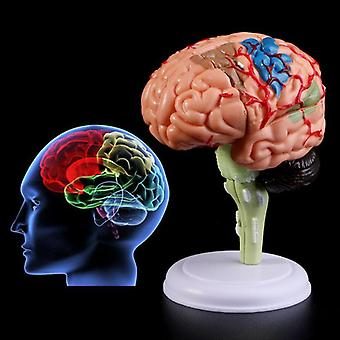 Disassembled Anatomical Human Brain Model, Anatomy Medical Teaching Tool,