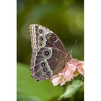 Gufo gigante farfalla (Caligo Eurilochus) centrale e Sud America PosterPrint