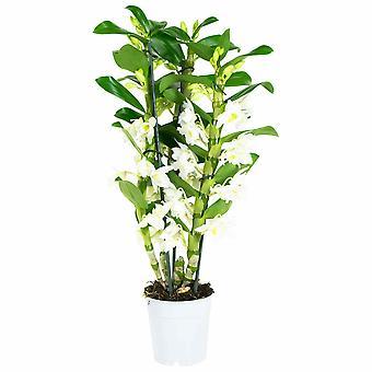Dendrobium Nobile Apollon - Hoogte 50 cm - Diameter pot 12 cm