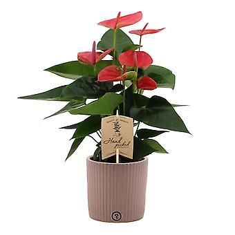 Bloem – Flamingoplant in taupe keramiek pot als set – Hoogte: 36 cm