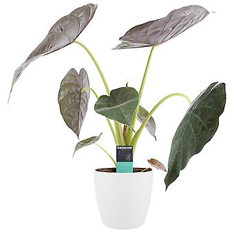 Plante d'intérieur – Alocasia en pot de fleur blanc comme un ensemble – Hauteur: 65 cm
