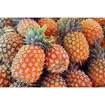 Ananas Sunshine Coast Queensland Australia Poster trykk av David Wall