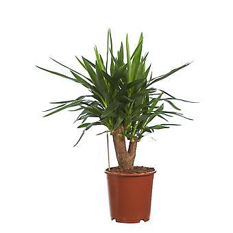 Palm Lilly ↕ 40 till 100 cm | Yucca elephantipes