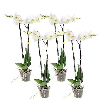 Choice of Green - 1 White orchid Grandi or butterfly orchid