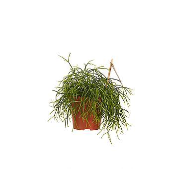 Rotskoraal ↕ 20 tot 40 cm verkrijgbaar met bloempot | Rhipsalis cashero
