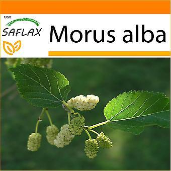 Saflax - Garten in der Tasche - 200 Samen - weißen Maulbeere - Mûrier Blanc - Moro Bianco - Morera Blanca - Weißer Maulbeerbaum