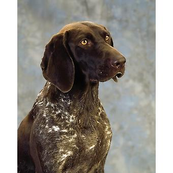 German Pointer Portrait Of A Dog PosterPrint