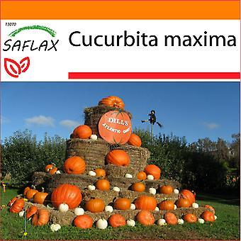 Saflax - jardín en el bolso - 7 semillas - calabaza - Atlántico gigante - Potiron - Atlántico gigante - Zucca gigante - Calabaza Atlantic Giant - Kürbis - Atlántico gigante