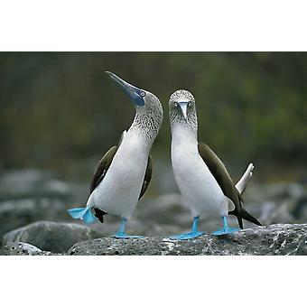 Blue-footed Boobies in courtship dance Punta Cevallos Galapagos Islands Ecuador Poster Print by Tui De Roy