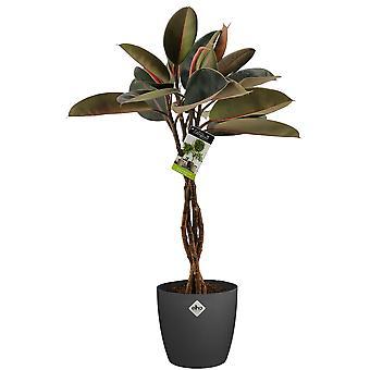 Kamerplant – Rubberboom incl. sierpot antraciet als set – Hoogte: 100 cm