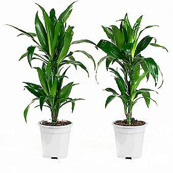 Zimmerpflanzen von Botanicly – 2 × Drachenbaum – Höhe: 70 cm – Dracaena fragr. Janet Craig