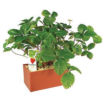 DuneCraft planter som fungerer, oppsiktsvekkende jordbær