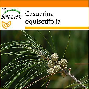 Saflax - puutarha laukku - 200 siementä - Korte Tree - Filao - Casuarina comune - Pino australiano - Känguruhbaum