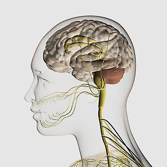 Ilustración Médica del sistema nervioso humano y el cerebro primer cartel imprimir