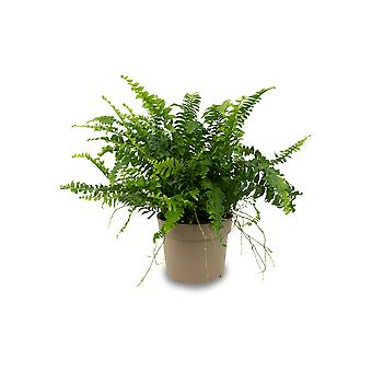Fern from Botanicly – Nephrolepis exaltata Green Lady – Height: 25 cm
