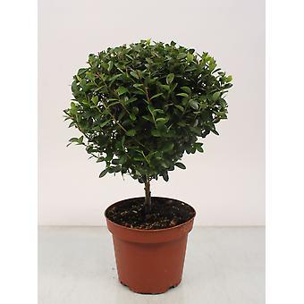 Bonsai z Botanicly – Myrsine africana – Wzrost: 30 cm
