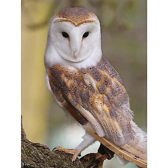 Faithful Friends Collectables Lenticular 3d Image Barn Owl (en)